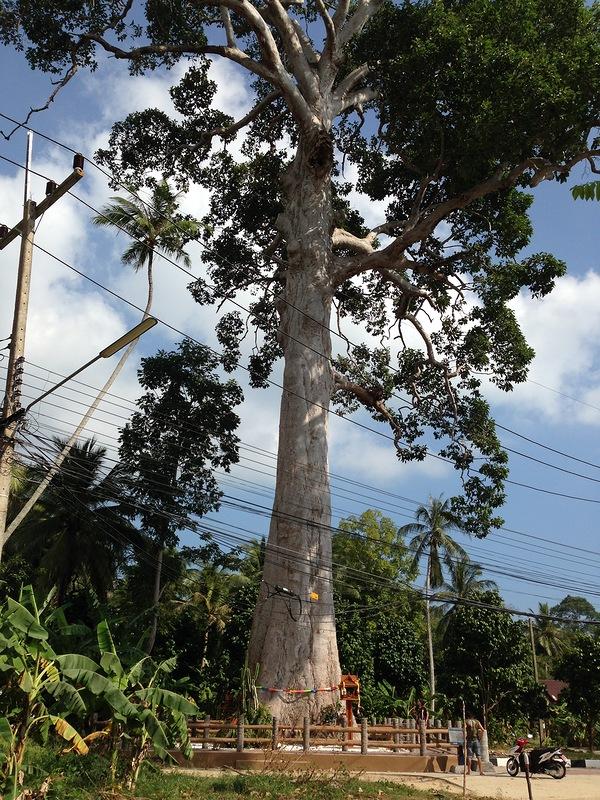 Самое большое дерево Таиланда